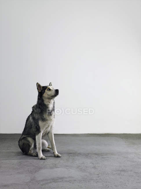 Alaskan Malamute sitting on floor over grey wall — Stock Photo