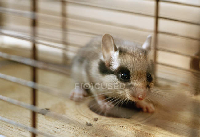 Cute beige pet mouse in cage — Stock Photo