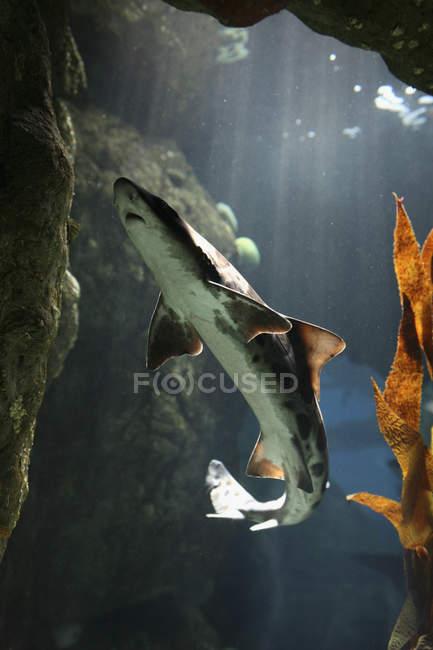 Requin léopard nageant dans l'eau de l'aquarium — Photo de stock