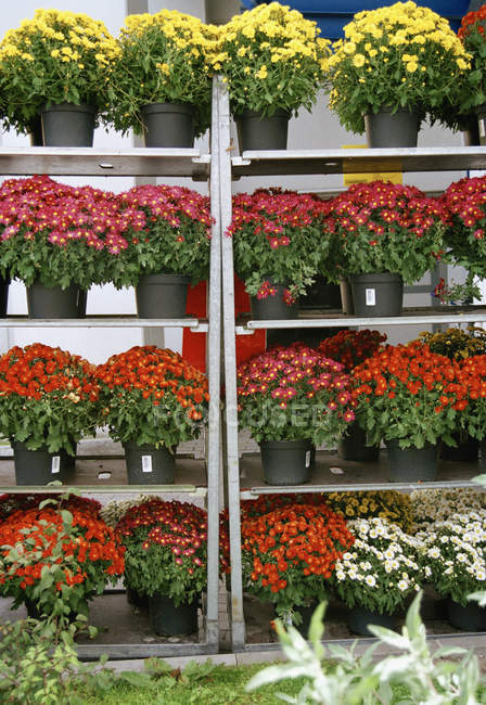 Variety of Chrysanthemum flowering potted plants on shelves at market — Stock Photo