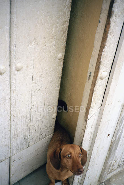 Cão marrom em pé na entrada e olhando para cima — Fotografia de Stock