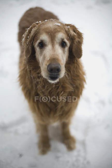 Un statut de chien brun sur la neige et regarder la caméra — Photo de stock