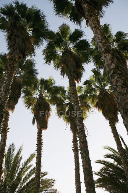 Низкий угол зрения пальмовых деревьев над голубое небо — стоковое фото