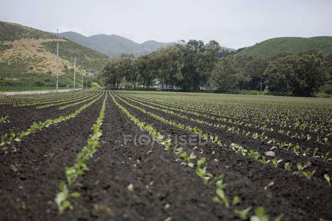 Surface level view of crops growing in farm field — Stock Photo