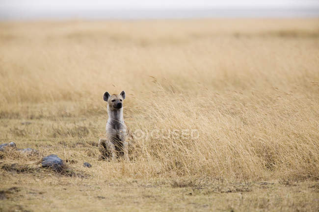 Hyena sitting in safari field — Stock Photo