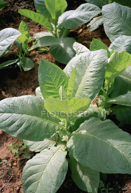 Close-up vista de plantas de tabaco crescente no campo — Fotografia de Stock