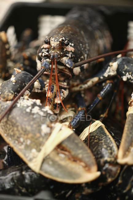 Portrait de homard avec griffes bornés — Photo de stock