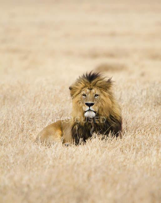 Leone che riposa in campo di safari e rivolto verso l'obiettivo — Foto stock