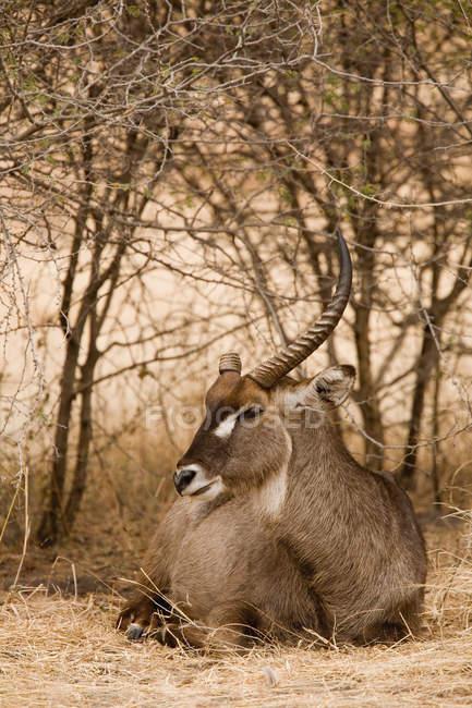 Antilope au repos à buissons secs — Photo de stock