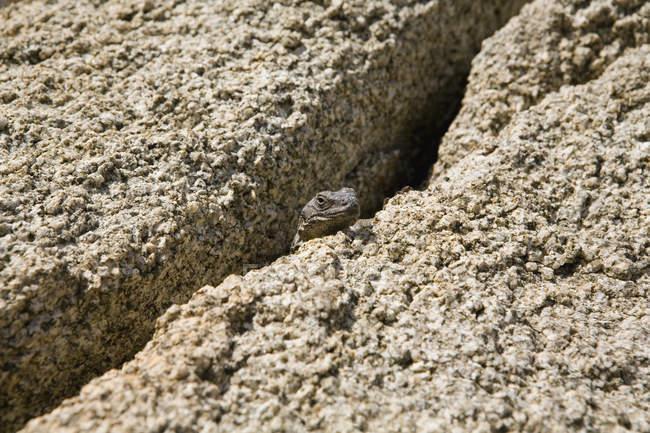 Lézard perché dans des fissures entre les rochers de grès — Photo de stock