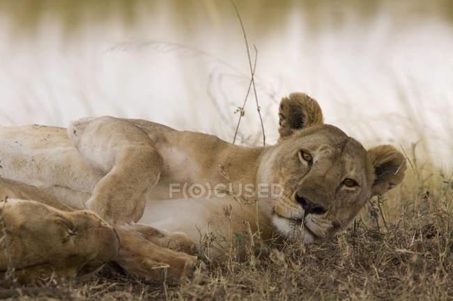 Портрет левиця відпочиваючи в природі і, дивлячись на камеру — стокове фото