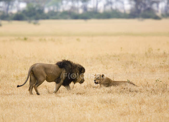 Side view of lion and lioness at safari — Stock Photo