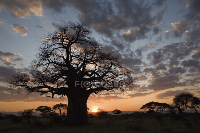 Silhouette de baobab au coucher du soleil paysage savane — Photo de stock