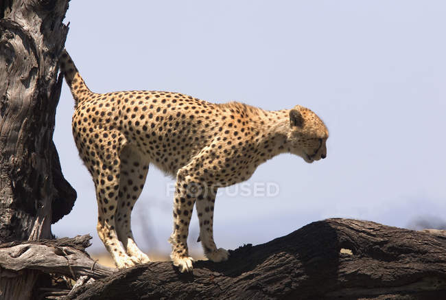 Side view of cheetah standing on tree branch — Stock Photo
