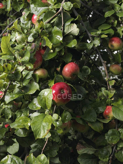Ripe apples on green tree branches — Stock Photo