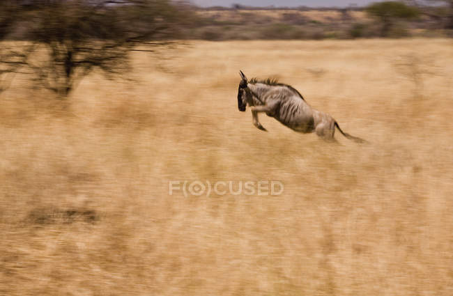 Side view of wildebeest running through field with dry grass — Stock Photo