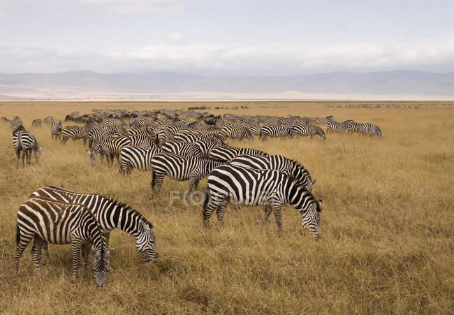 Viwe lateral del rebaño de cebras pastando en el safari - foto de stock