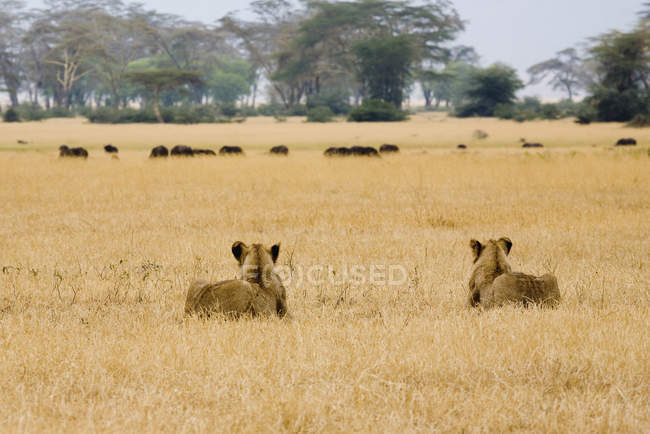 Two lionesses stalking water buffalo at safari — Stock Photo