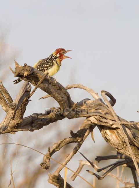 Вид сбоку усаживаться сухие ветви птица вызов через небо — стоковое фото
