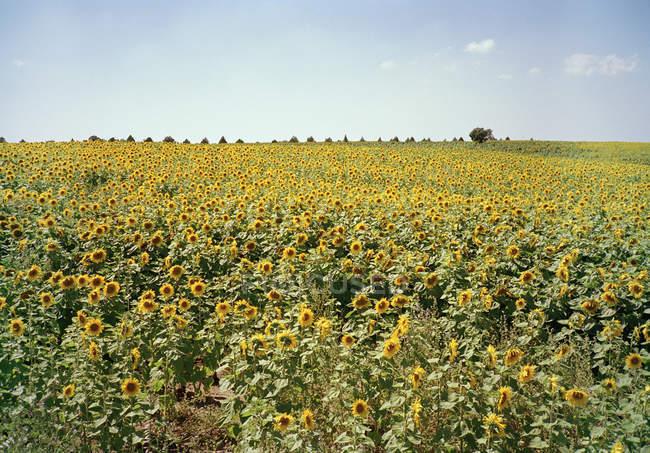 Посмотреть поле подсолнечника фермы на Солнечный день — стоковое фото