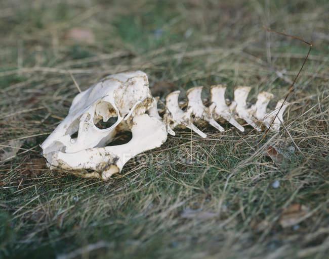 Vue rapprochée du crâne et de la colonne vertébrale des animaux sur l'herbe — Photo de stock