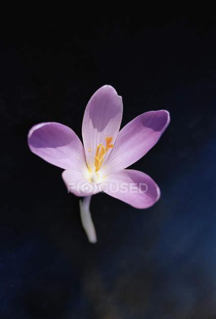 Одноместный Крокус цветок над черный — стоковое фото