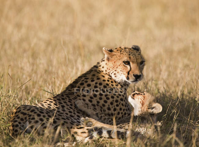 Ritratto del ghepardo con il suo cub al safari illuminata dal sole — Foto stock