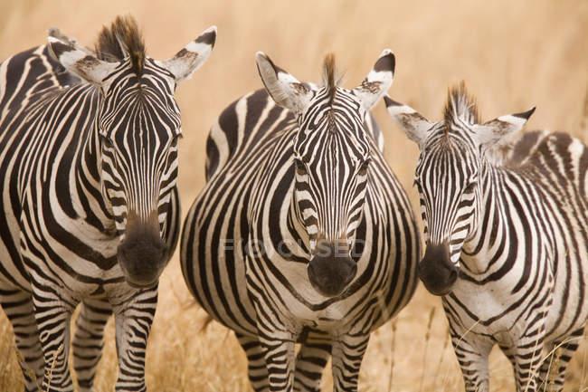Фронтальний вид зебр в safari поля — стокове фото