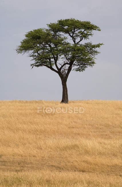 Acacia Tree growing on dry field over cloudy sky — Stock Photo