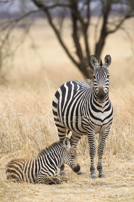 Zebra e vitello alla natura safari — Foto stock