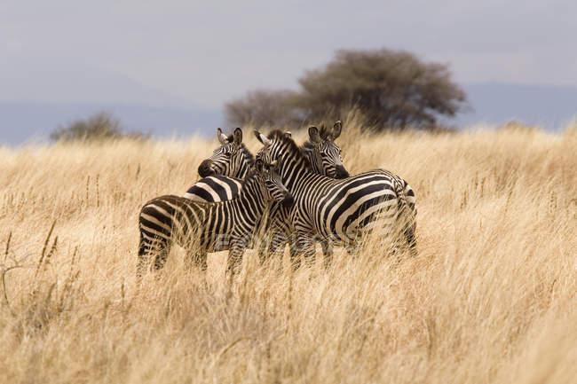 Manada de la familia de la cebra en el campo de safari - foto de stock