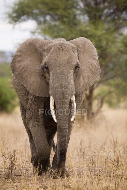 African Elephant walking on nature and looking at camera — Stock Photo