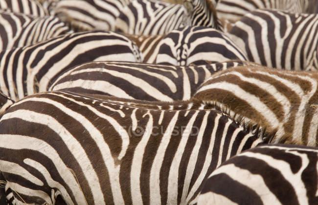 Captura de fotograma completo de cebras en manada - foto de stock
