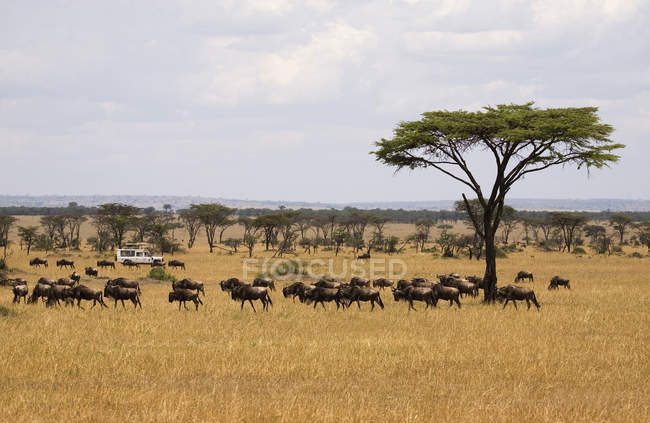 Safari vehicle driving behind herd of wildebeest — Stock Photo
