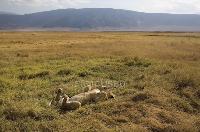 Giocosa leonessa sdraiata sul retro al safari illuminato dal sole — Foto stock