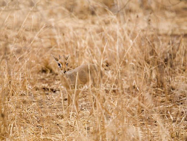 Alerted Kirk's Dik-dik on arid country field — Stock Photo