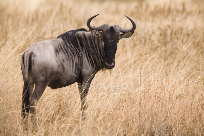 Side view of wildebeest standing at dry field and looking at camera — Stock Photo