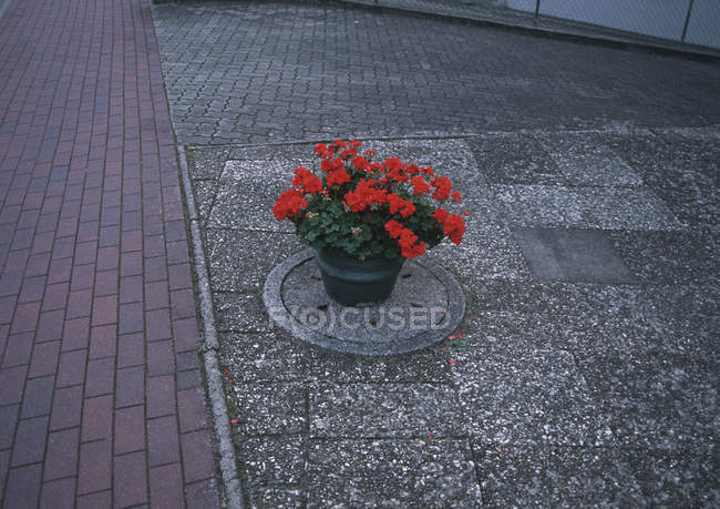 Potted geranium plant on top of sewer manhole at street — Stock Photo