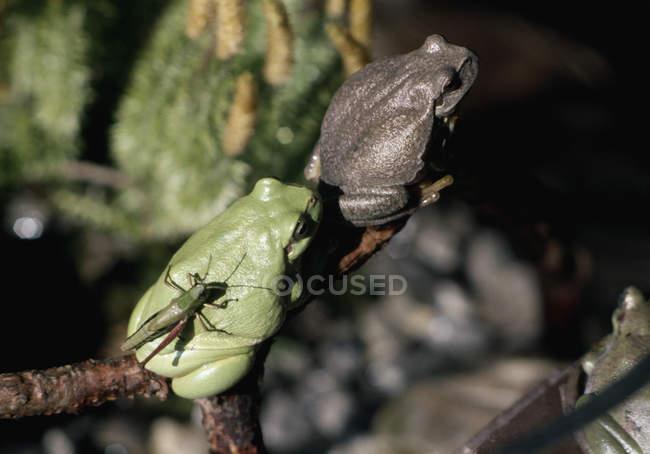 Deux grenouilles et insectes se percher sur une branche d'arbre — Photo de stock