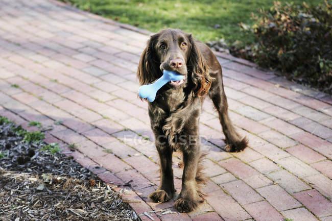 Un cane marrone in piedi sul sentiero del giardino con osso di gomma in bocca — Foto stock