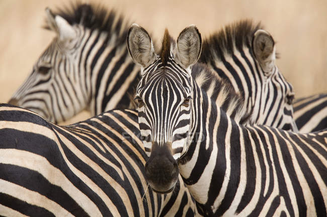 Herd of wild zebras at safari nature — Stock Photo