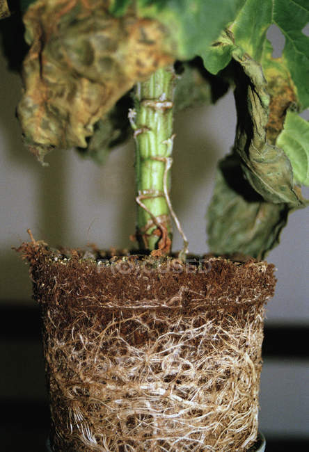 Immagine potata di radici della pianta in vaso — Foto stock