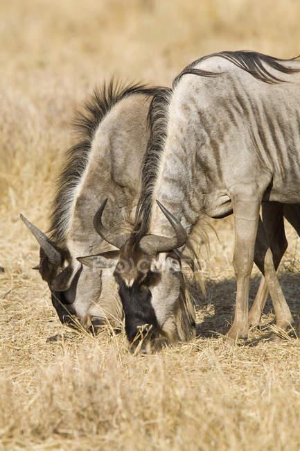 Два гну, выпас скота на сухом поле — стоковое фото