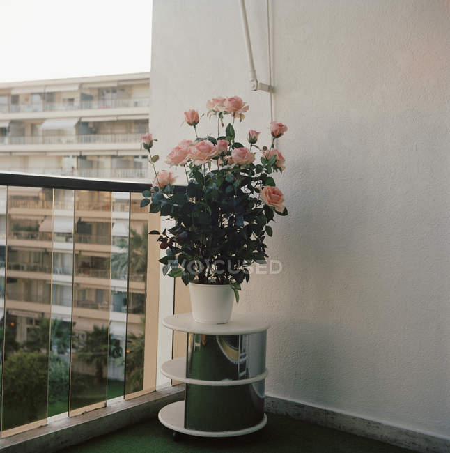 Roseira em vaso pedestal no terraço — Fotografia de Stock