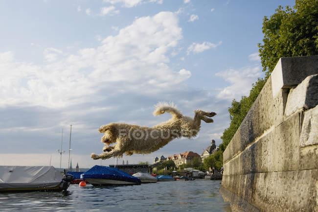 Vue latérale du chien d'eau portugais sautant dans la mer — Photo de stock