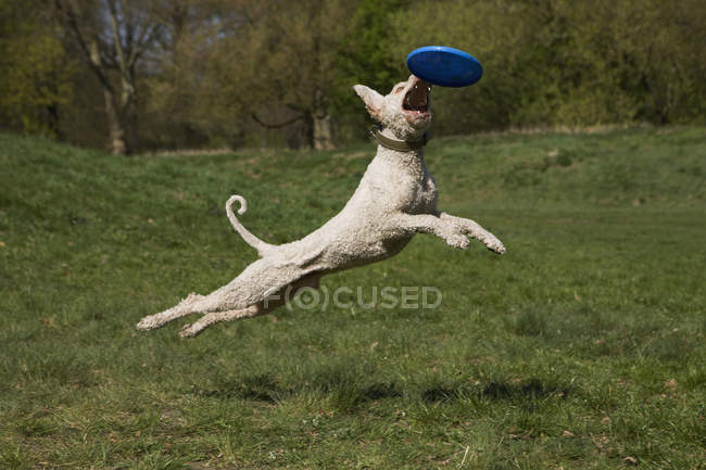 Portuguese Waterdog in mid-air catching frisbee at nature — Stock Photo
