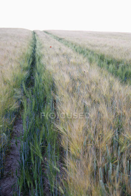 Landscape of field of rye on cloudless day — Stock Photo