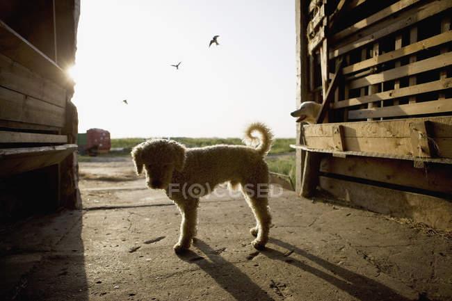 Silhouette de chien d'eau portugais debout dans les portes de la grange — Photo de stock
