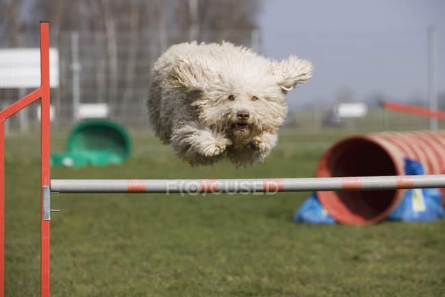 Portoghese Waterdog saltare oltre ostacolo — Foto stock
