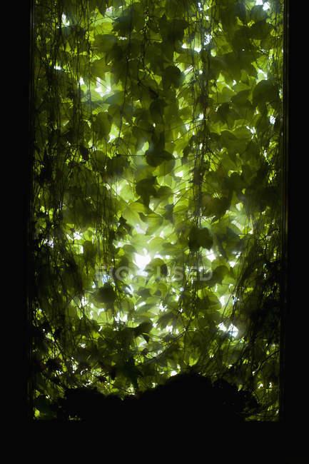 Hinterleuchtete Blätter durch schattenspendendes offenes Fenster — Stockfoto
